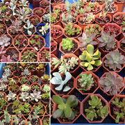 多肉植物ミックス 多肉植物/寄せ植え/イベント販促用/フリーマーケット/ワークショップ